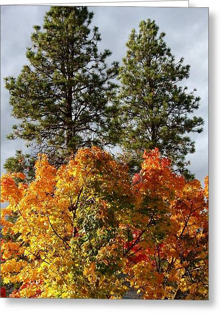 Autumn Maple With Pines Greeting Card by Will Borden