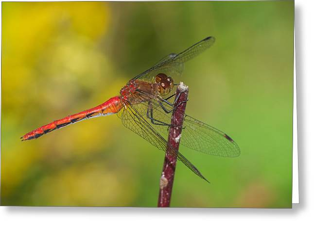 Meadowhawk Greeting Cards - Autumn Meadowhawk Greeting Card by Jim Zablotny