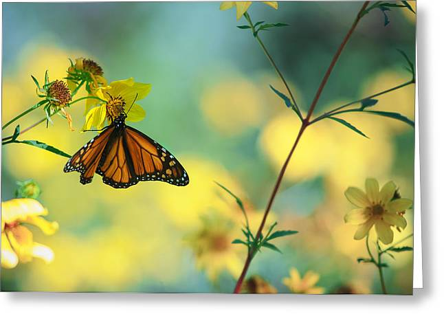 Monarch Greeting Cards - Autumn Monarch Greeting Card by Joel Olives