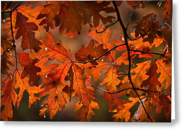 Autumn Oak Greeting Card by Steve Gadomski