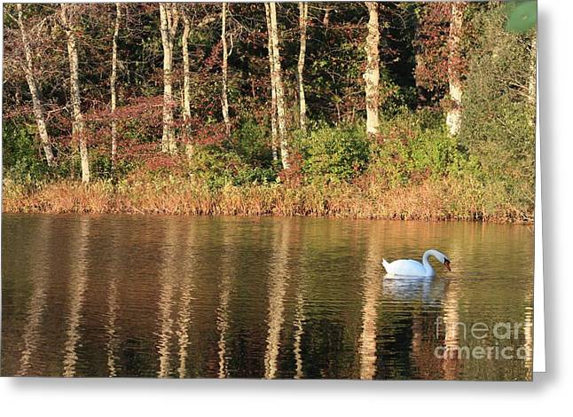 Reflection On Pond Greeting Cards - Autumn Pond Sunset with Swan Greeting Card by Carol Groenen