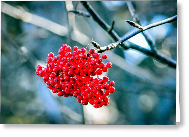 Auburn Ma Greeting Cards - Autumn Red Berry Cluster Greeting Card by Black Brook Photography