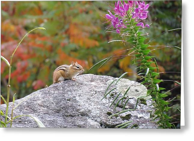 Cleome Flower Greeting Cards - Autumn Rock Chipmunk Greeting Card by MTBobbins Photography