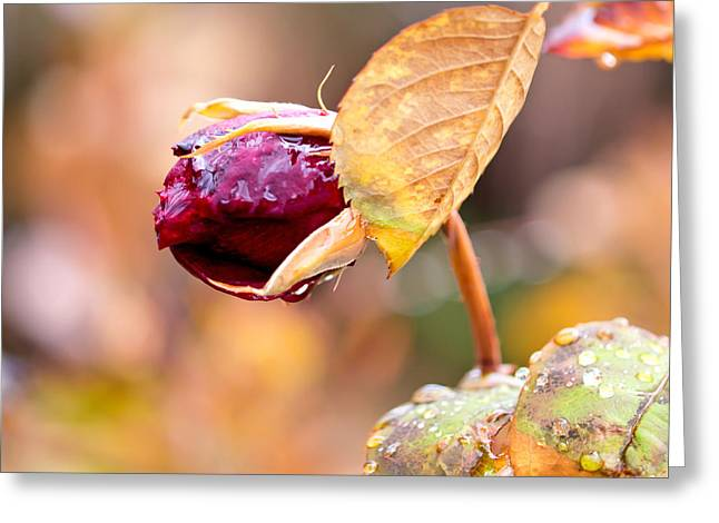 Flower Art Greeting Cards - Autumn Rosebud Greeting Card by Rona Black