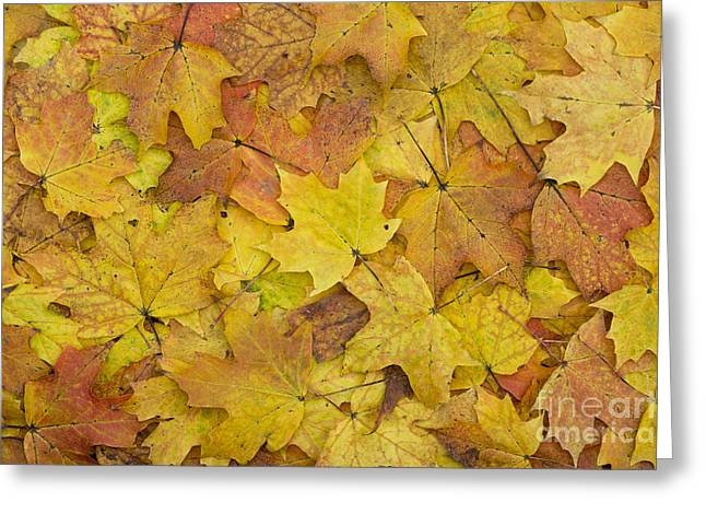 Lobe Greeting Cards - Autumn Sugar Maple Leaves Greeting Card by Tim Gainey