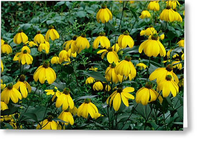 Yellow Coneflower Greeting Cards - Autumn Sun Coneflower Rudbeckia Nitida Greeting Card by Panoramic Images