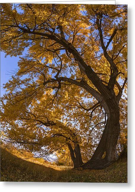 Backlit Greeting Cards - Autumn tree Greeting Card by Vishwanath Bhat