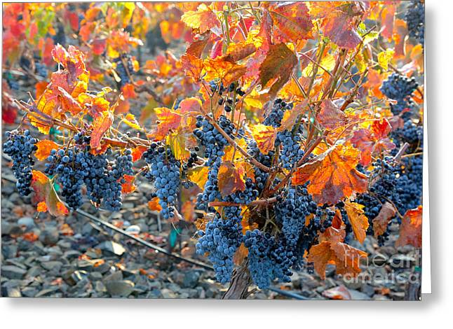Autumn Vineyard Sunlight Greeting Card by Carol Groenen