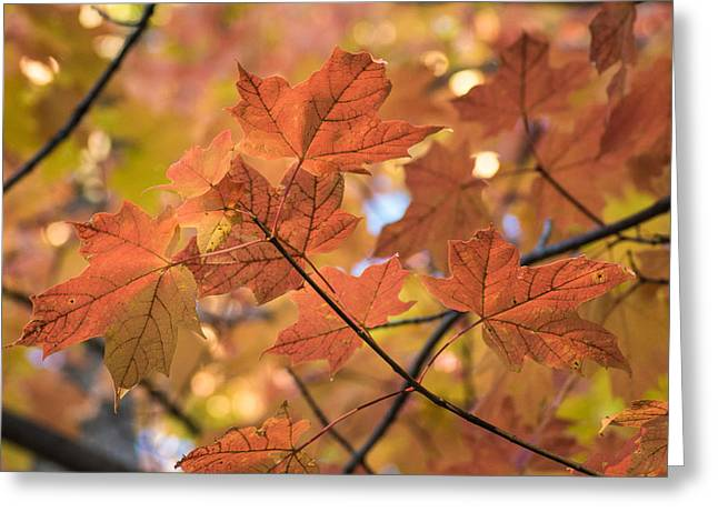 Red Maple Tree Branches Greeting Cards - Autumn Warmth Greeting Card by Bill Pevlor