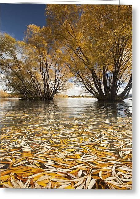 Willow Lake Greeting Cards - Autumn Willows Lake Tekapo New Zealand Greeting Card by Colin Monteath
