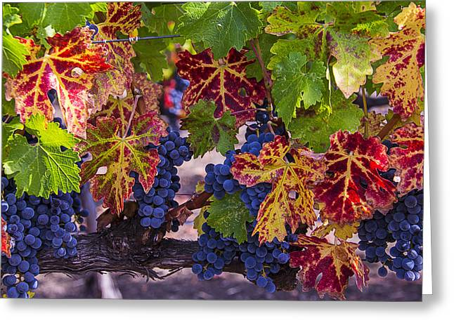 Grapevine Photographs Greeting Cards - Autumn Wine Grape Harvest Greeting Card by Garry Gay