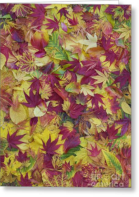 Autumnal Acer Leaves Greeting Card by Tim Gainey