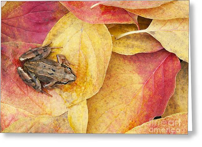 Common Greeting Cards - Autumnal Frog Greeting Card by Tim Gainey