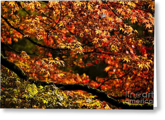 Backlit Greeting Cards - Autumns Glory Greeting Card by Anne Gilbert