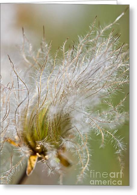 Avens Greeting Cards - Avens Seedhad vertical Greeting Card by Heiko Koehrer-Wagner