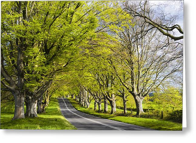 Kingston Greeting Cards - Avenue of Beech Trees Greeting Card by Helen Hotson