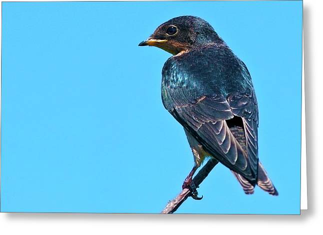 Baby Swallows Greeting Cards - Avian Blues... Greeting Card by Nina Stavlund
