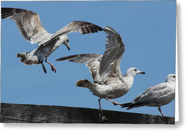 Seabirds Greeting Cards - Avian Dance Greeting Card by John Topman