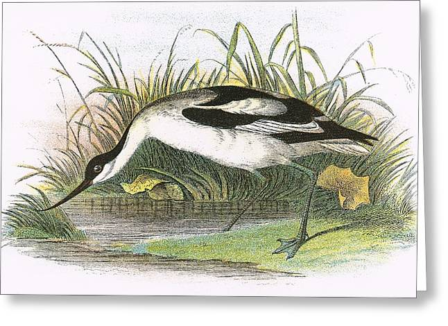 Avocet Greeting Card by English School