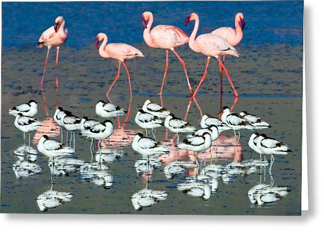Craters Greeting Cards - Avocets And Flamingos Standing Greeting Card by Panoramic Images