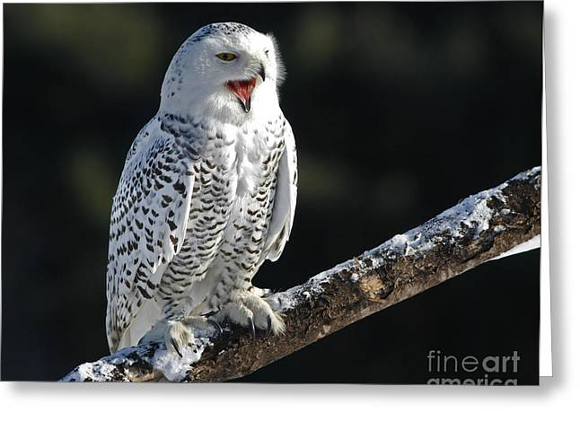 Awakened- Snowy Owl Laughing Greeting Card by Inspired Nature Photography By Shelley Myke
