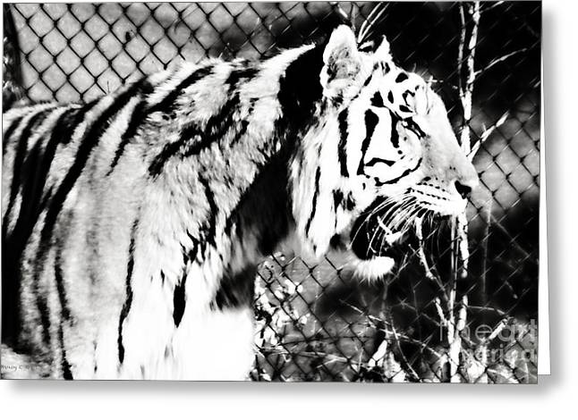 Axl - Tiger In Black And White Greeting Card by Nancy E Stein