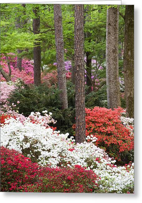 Chatham County Greeting Cards - Azalea Carpet Greeting Card by Eggers   Photography
