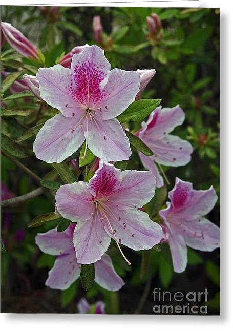 Fruit Tree Art Greeting Cards - Azalea Greeting Card by Skip Willits