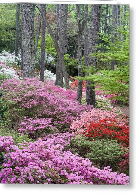 Chatham County Greeting Cards - Azaleas Galore Greeting Card by Eggers   Photography