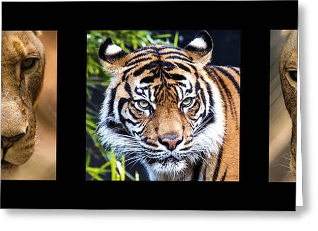 Lioness Greeting Cards - B I G - C A T S Greeting Card by Andrew Dickman