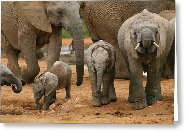 Elephant Greeting Cards - Baby African Elephants Greeting Card by Bruce J Robinson