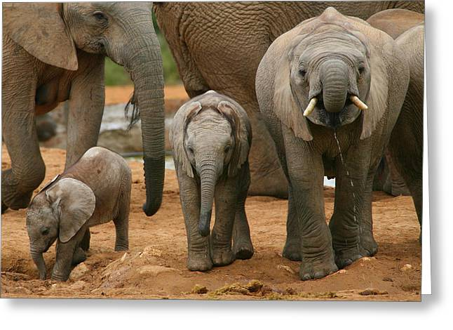 Addo Greeting Cards - Baby African Elephants II Greeting Card by Bruce J Robinson