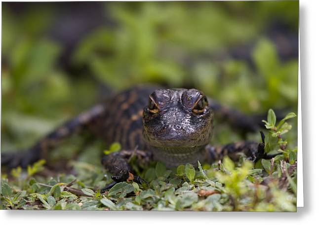 Small Photographs Greeting Cards - Baby Alligator Greeting Card by Andres Leon