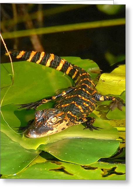 Florida Wildlife Photography Greeting Cards - Baby Alligator card cut Greeting Card by David Lee Thompson