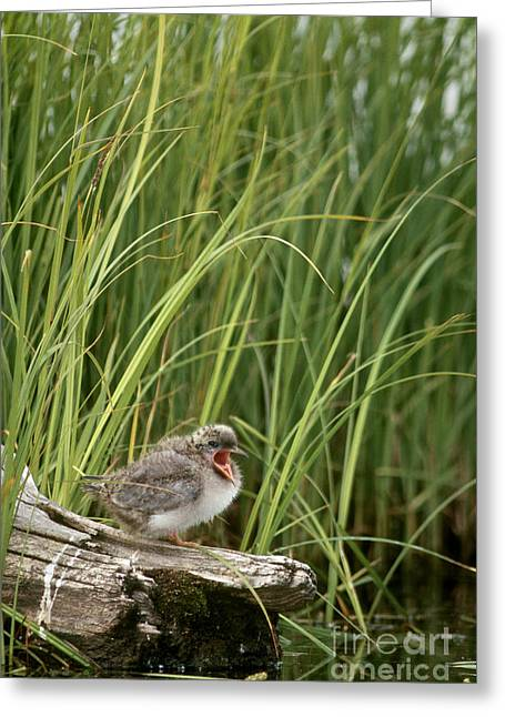 Tern Greeting Cards - Baby Arctic Tern Sterna Paradisaea Greeting Card by Mark Newman