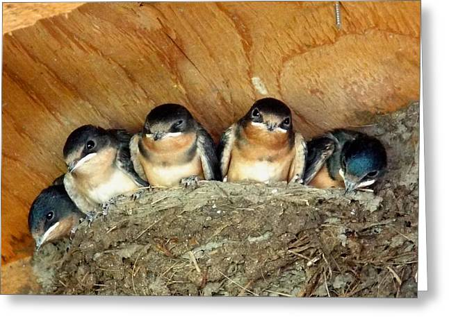 Swallow Nestlings Greeting Cards - Baby Barn Swallows  Greeting Card by Dianne Cowen