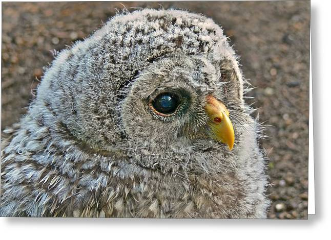 Owlets Greeting Cards - Baby Barred Owlet Greeting Card by Jennie Marie Schell