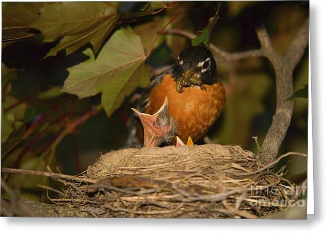 Hungry Chicks Greeting Cards - Baby Birds Mother Robin Feeding Chick Greeting Card by SAJE Photography