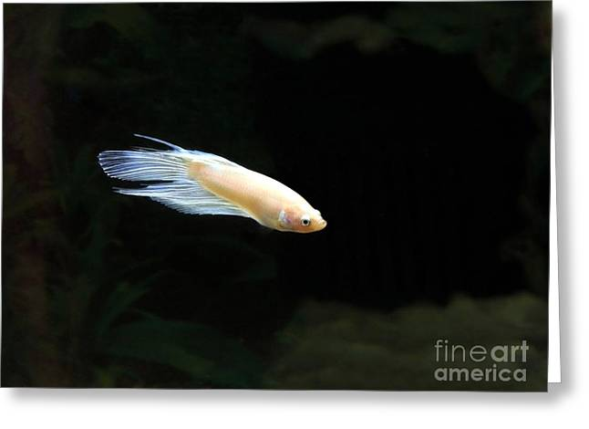 Betta Greeting Cards - Baby Blue Betta Greeting Card by Renee Trenholm
