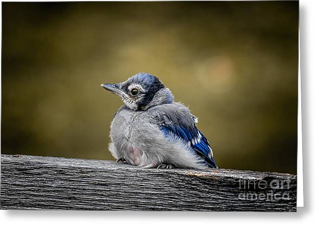 Fledglings Greeting Cards - Baby Blue Jay Greeting Card by Robert Frederick