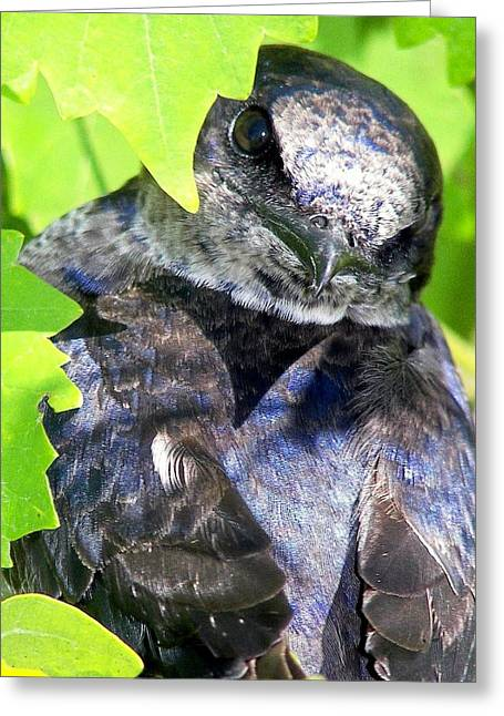Blue And Green Photographs Greeting Cards - Baby Bluejay Peek Greeting Card by Karen Wiles