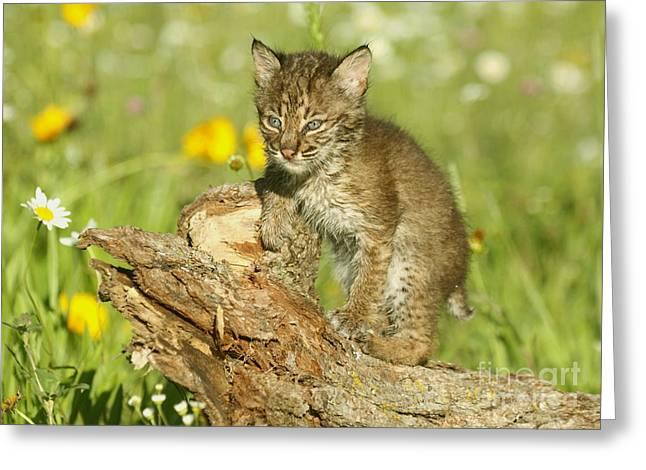 Baby Bobcat Greeting Cards - Baby Bobcat at play Greeting Card by Myrna Bradshaw