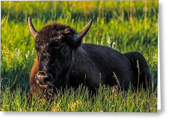 Hooved Mammal Greeting Cards - Baby Buffalo Greeting Card by Paul Freidlund