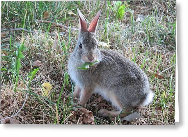 Original Photographs Greeting Cards - Baby Bunny Eating Dandelion #02 Greeting Card by Ausra Paulauskaite
