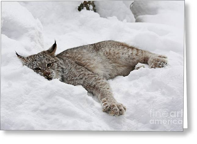 Shelley Myke Greeting Cards - Baby Canadian Lynx Laying in the Snow Greeting Card by Inspired Nature Photography By Shelley Myke