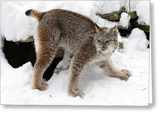 Baby Canadian Lynx Leaving The Winter Den Greeting Card by Inspired Nature Photography Fine Art Photography