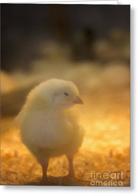 Fluffy Chickens Greeting Cards - Baby Chick Greeting Card by Margie Hurwich