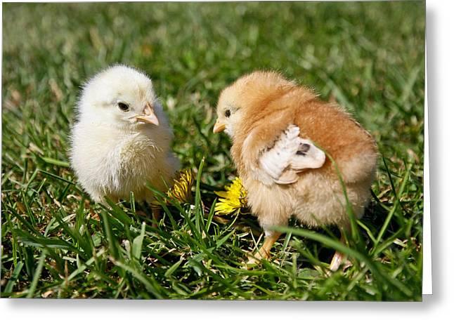 Wildlife Celebration Greeting Cards - Baby Chicks Greeting Card by Athena Mckinzie