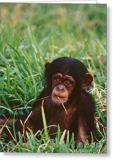 Chimpanzee Greeting Cards - Baby Chimpanzee Greeting Card by Mark Newman