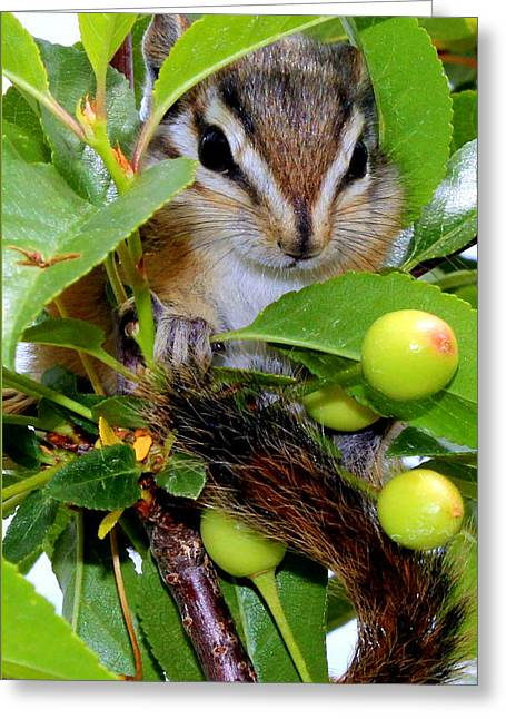 Barbara Chichester Digital Greeting Cards - Baby Chipmunk II Greeting Card by Barbara Chichester
